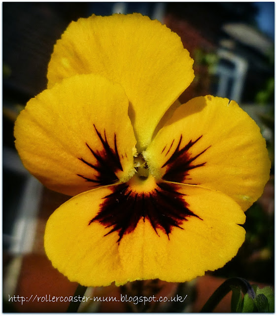 sunny yellow pansy