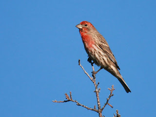 brown house finch with red head