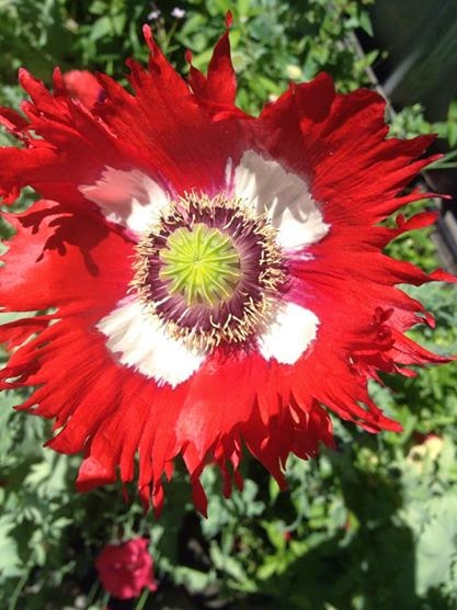 Opium Poppy 2014