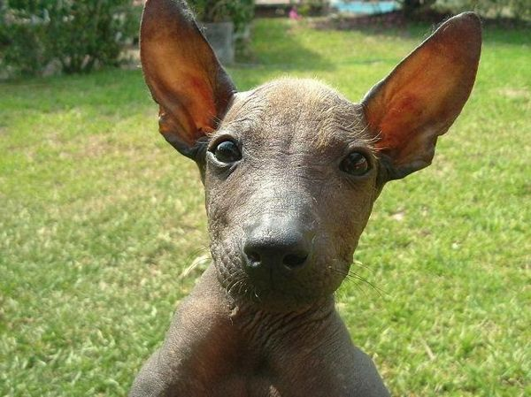 Xoloitzcuintli Training the xoloitzcuintli - the
