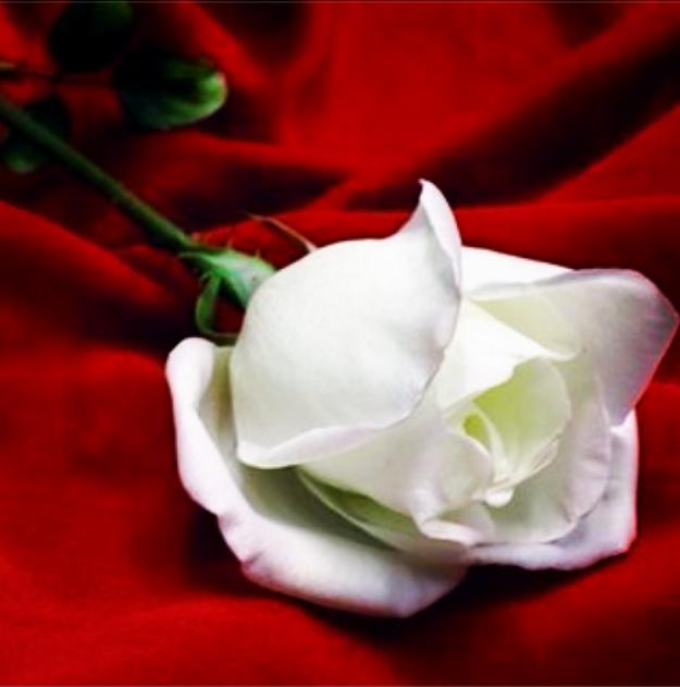 ورود جميلة 2014لأجمل إهداءات