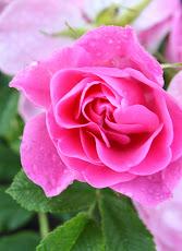 Jens munk rose
