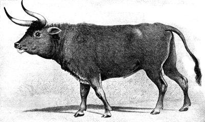 Most Amazing Extinct Land Animals Aurochs