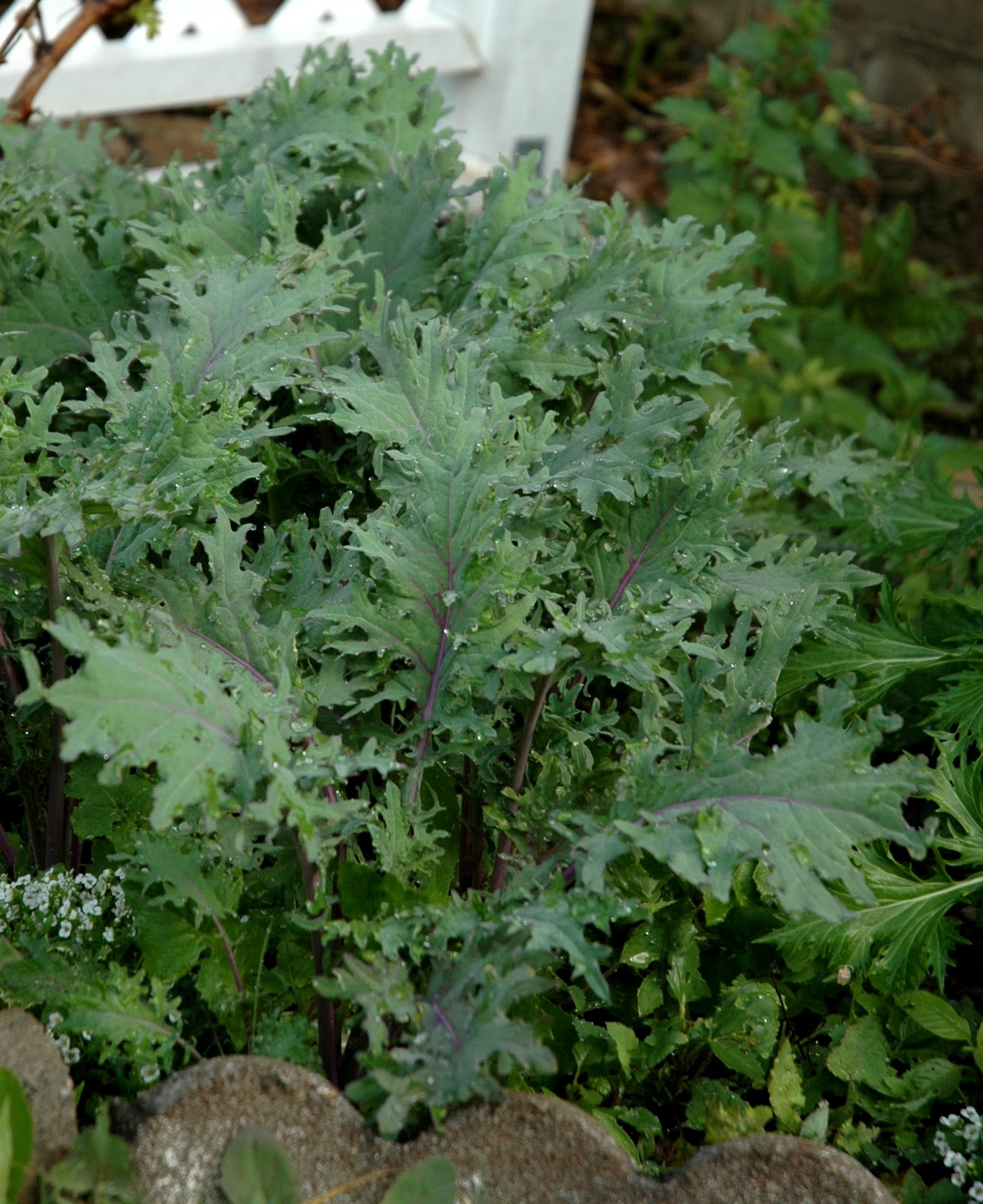 Propagate kale from cuttings