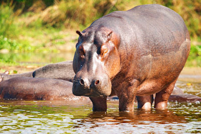 Hipopótamo salvaje en el Río Nilo, Uganda, África. Animales
