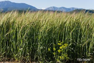 Campos de trigo en mayo