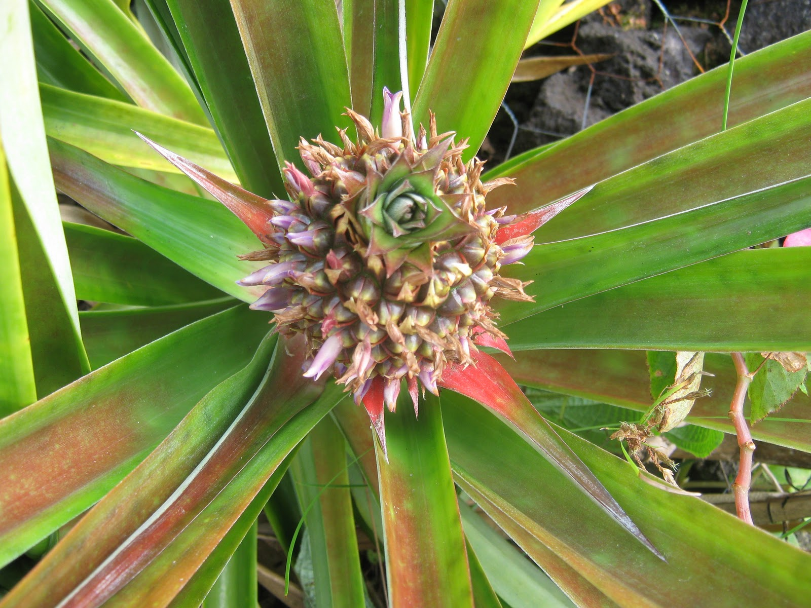 garden guy hawaii the pineapple flower