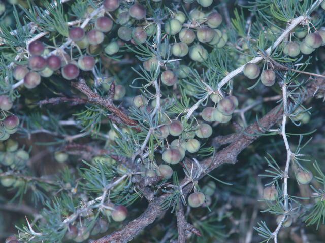 naturaleza y paisajismo.-: cultivo espÁrrago silvestre. c.e.e.