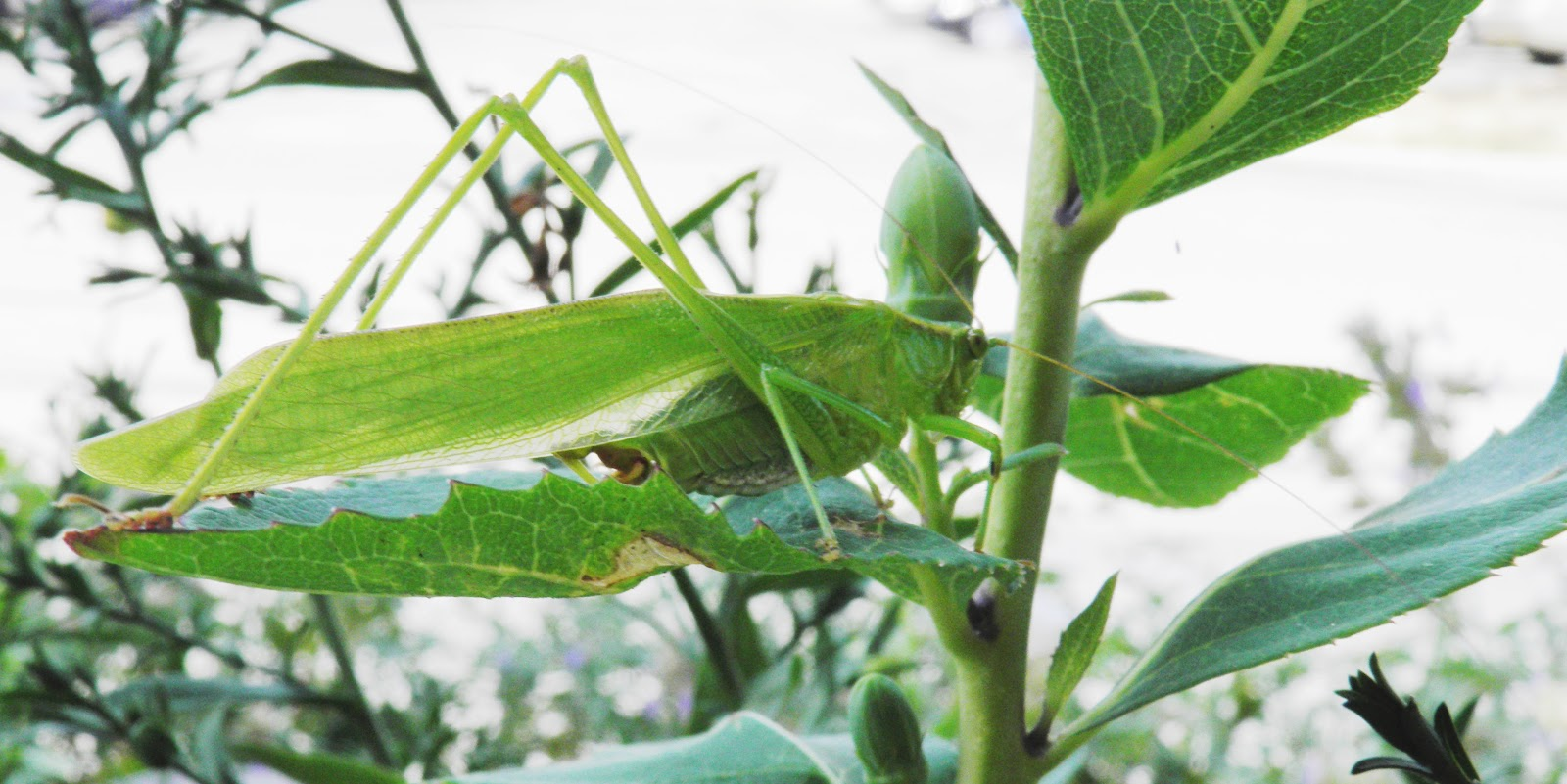 Green Leaf Shaped Grasshopper Like Bug And A White Bell Shaped Flower