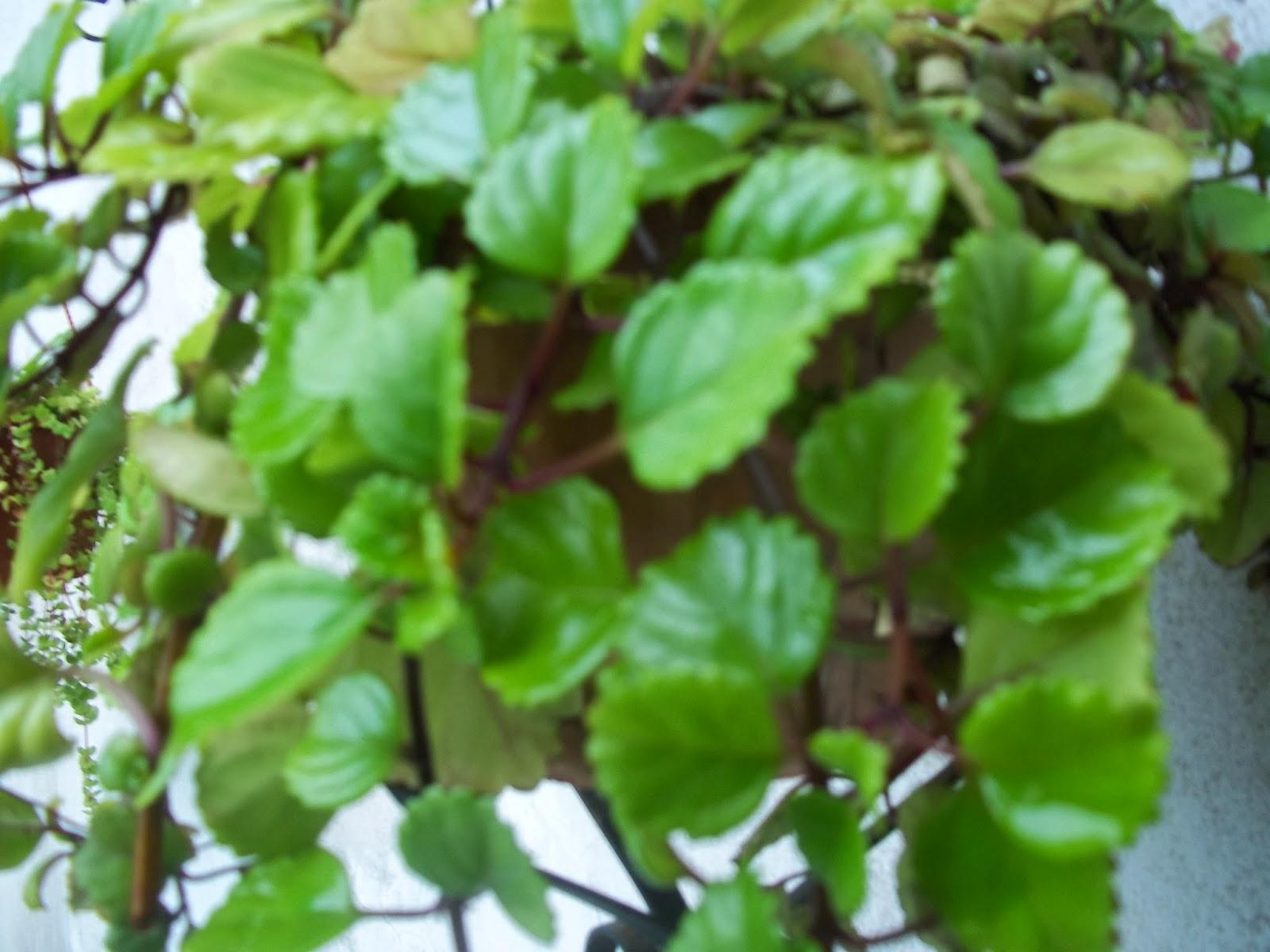 2013 jardin de casa - Planta china del dinero ...
