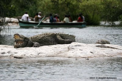 two marsh crocodiles basking
