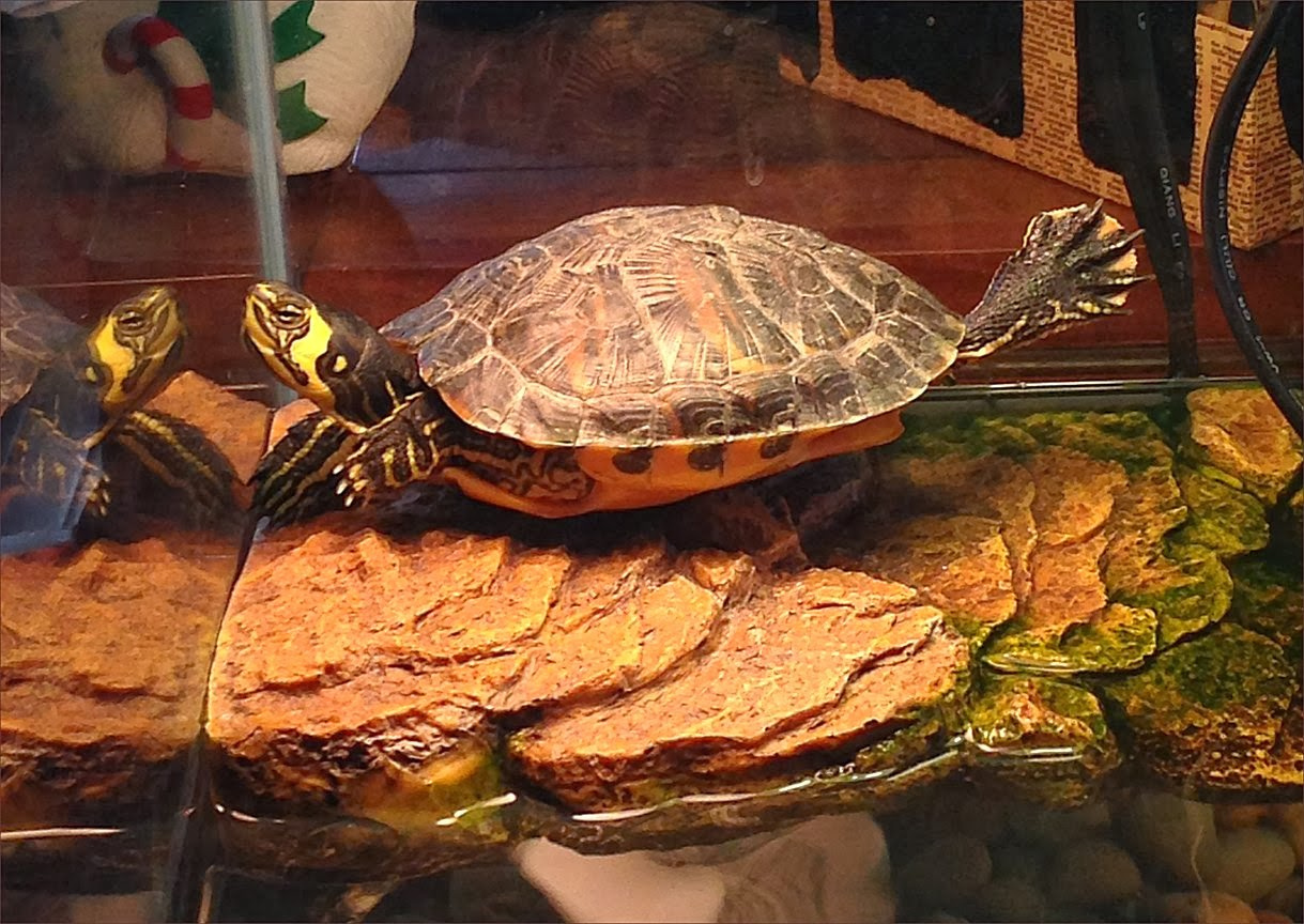 Turtle Stretching Under Heat Lamps On The Rock In His Penthouse Aquarium.