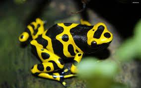 katak emas