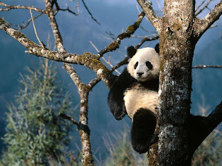 giant panda animal rare animal in zoo wallpaper