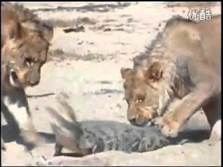 Two lions attacking a helpless crocodile