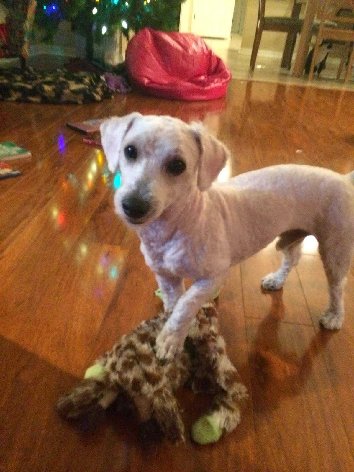shaved mini poodle