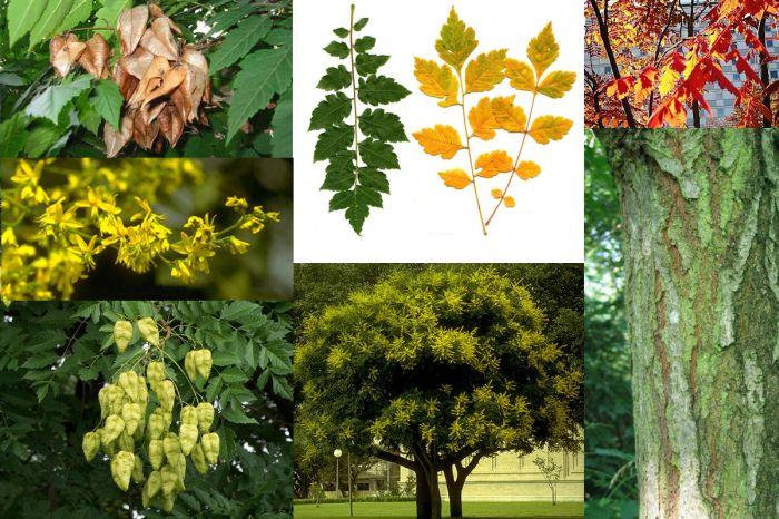 Árbol de Koelreuteria paniculata