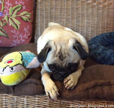 Pug looking sad with bearded lady dog toy