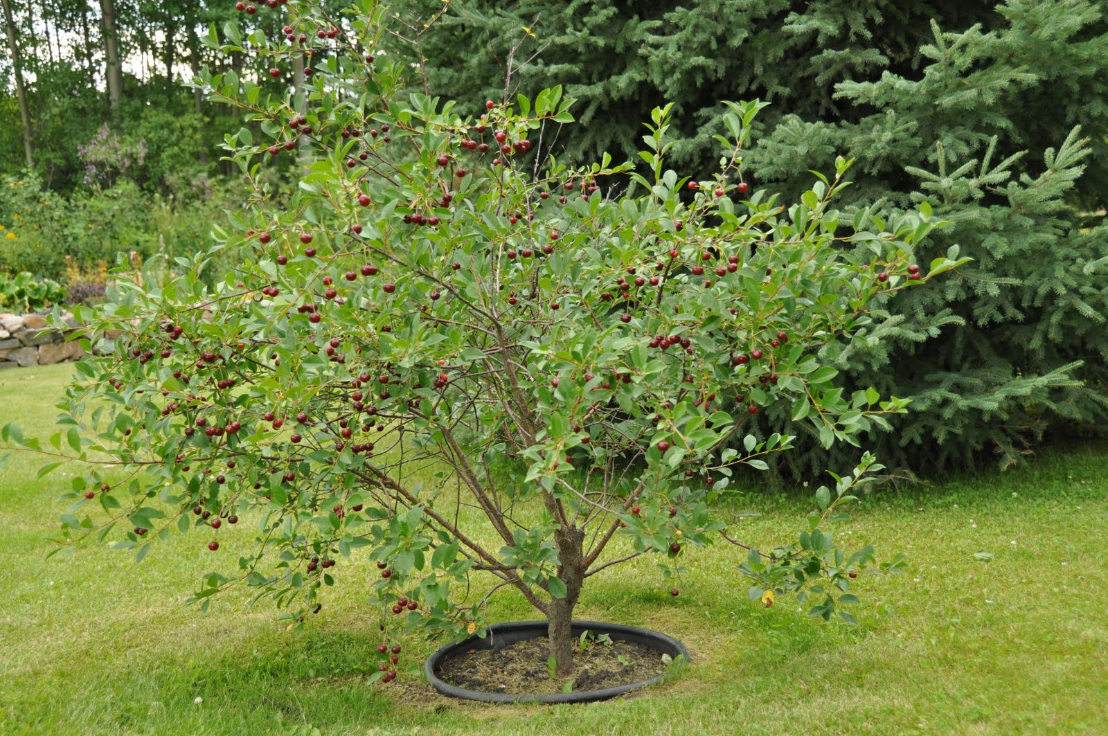 Sweet cherry: planting and caring for seedlings. Cherry varieties, photo 16