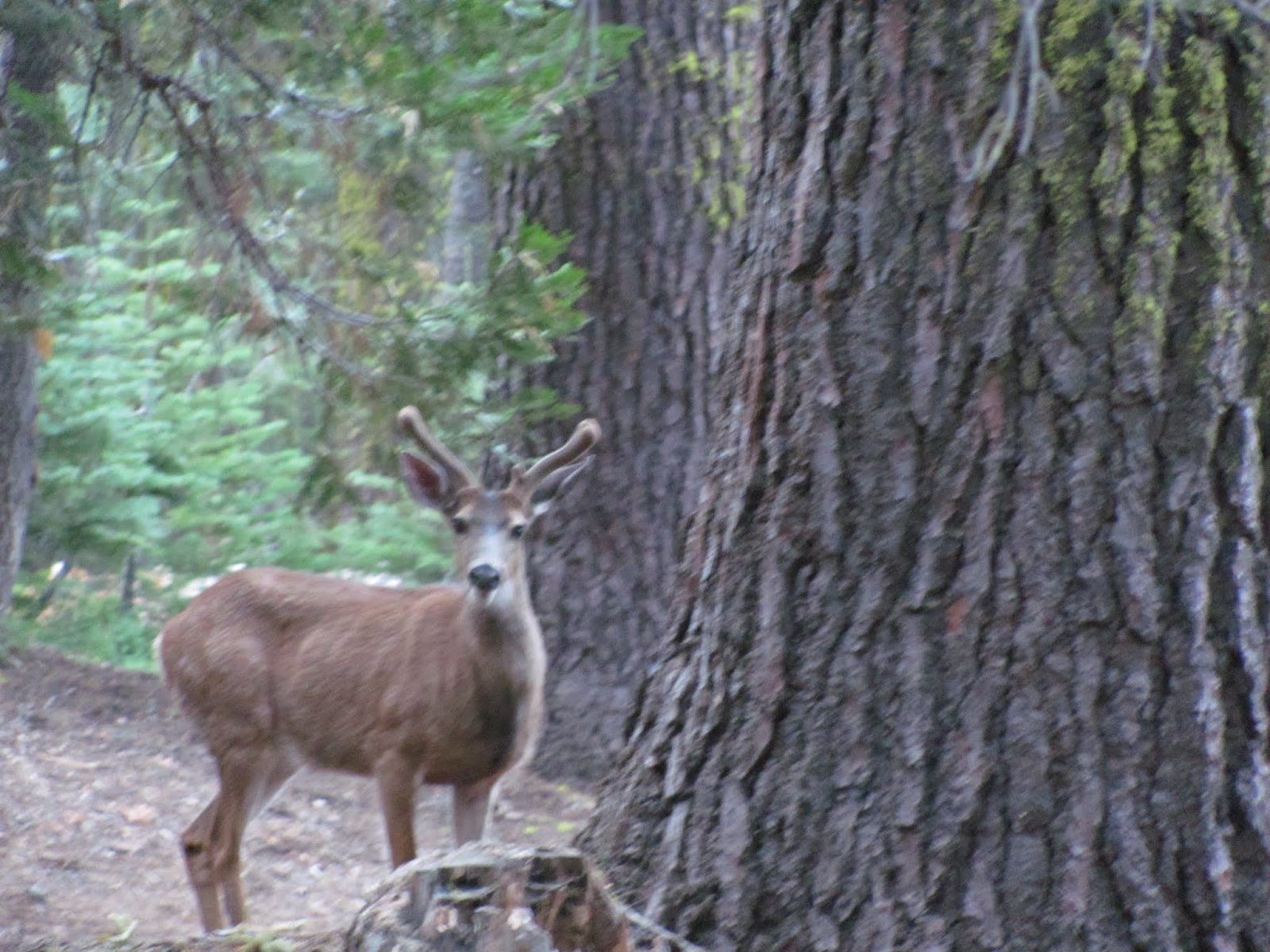 A mule deer buck with velvet antlers watches the campsite from nearby at Yosemite National Park, California