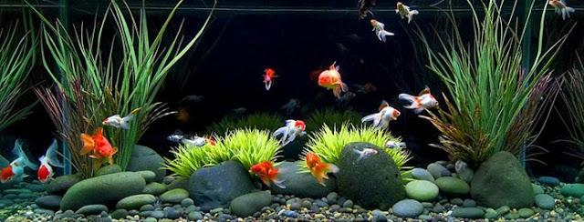 Cara Pemeliharaan Ikan Hias Di Dalam Aquarium