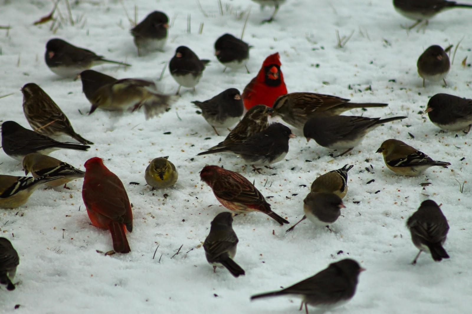 ozark highlands of missouri great backyard bird count february 13 16