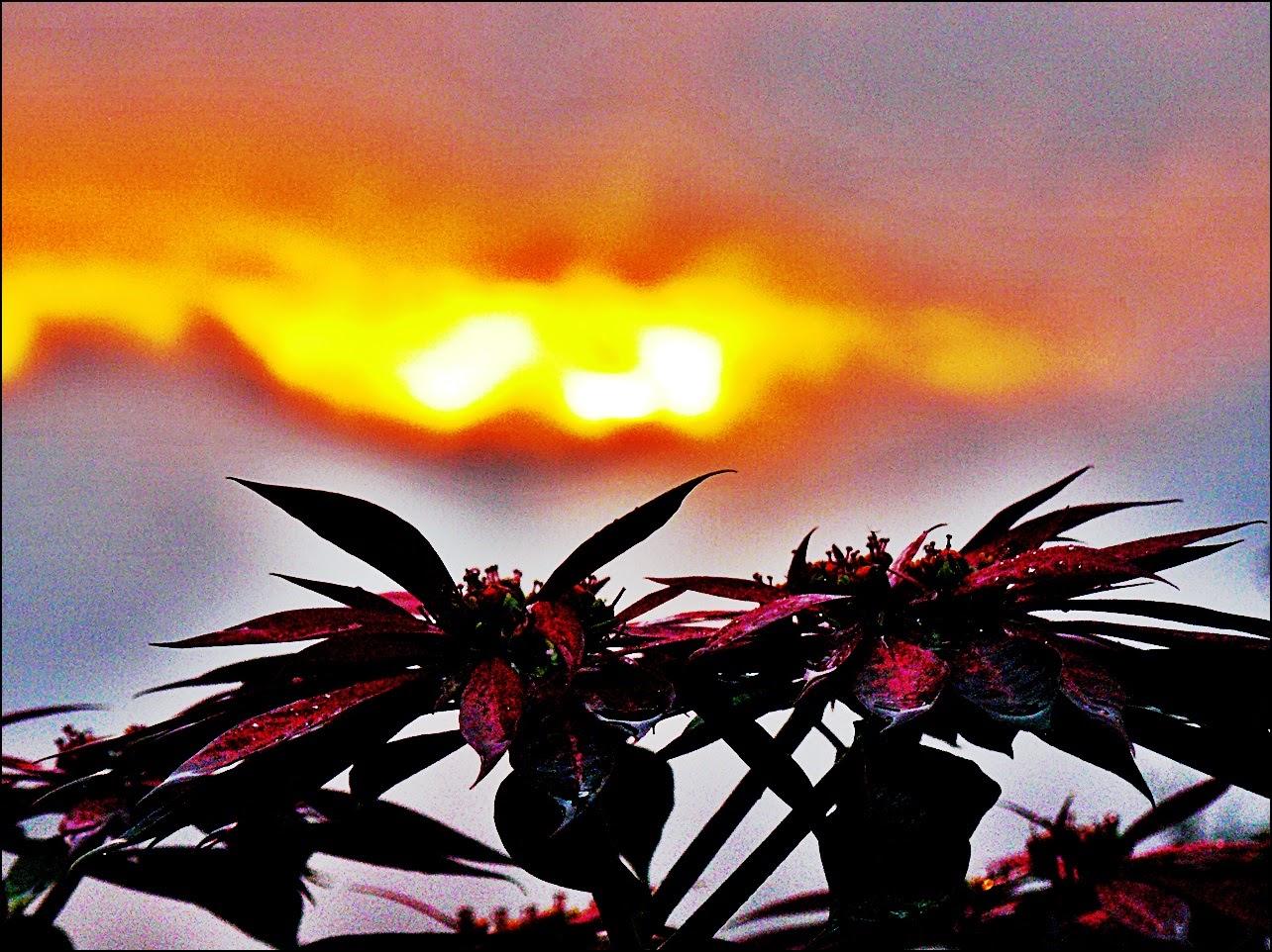 Orange sunset over red poinsettia in Costa Rica