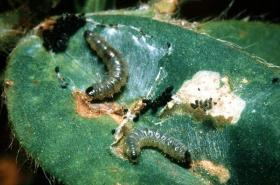 insect pest of cowpea pdf