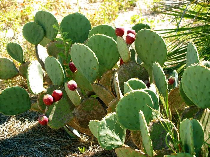 ekstrak kaktus cream sari