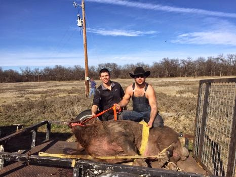 http://www.mysanantonio.com/sports/outdoors/article/Nearly-800-pound-hog-caught-in-Texas-6043871.php#photo-7445088