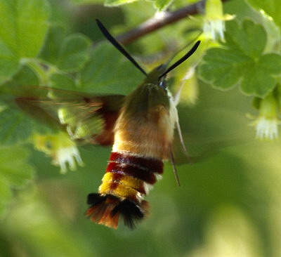 Flying insect that looks like a small hummingbird  Answers