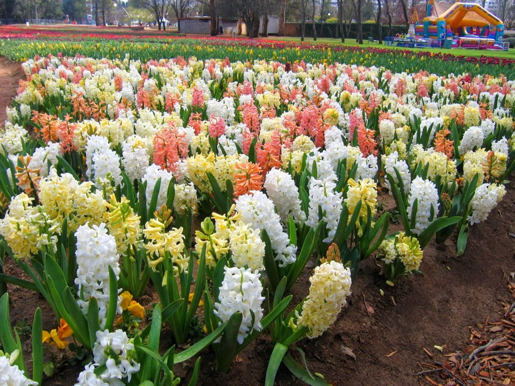 Mevsimlik i ek bak m s mb l hyacinthus bakimi - Planting hyacinths pots ...