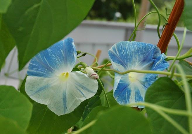 Två blå- och vitstrimmiga blomman för dagen-blommor är omringade av gröna blad.