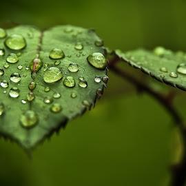 Gambar-gambar daun natural