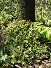 Trout lilies, Trillium and Mayapples in the woods at Chicago Botanic Garden