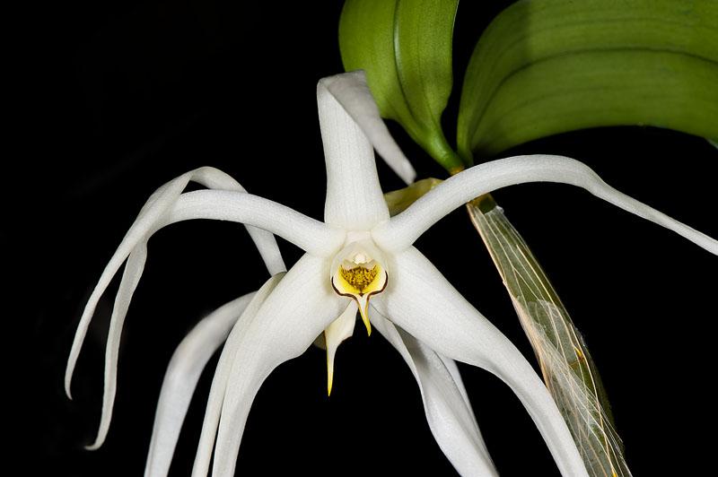 Dendrobium amboinense