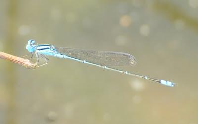 Blue Sprite (Pseudagrion microcephalum)?