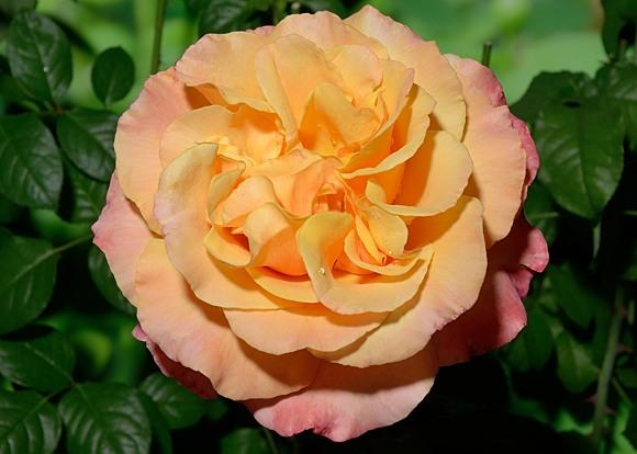 Antigua rose сорт розы фото