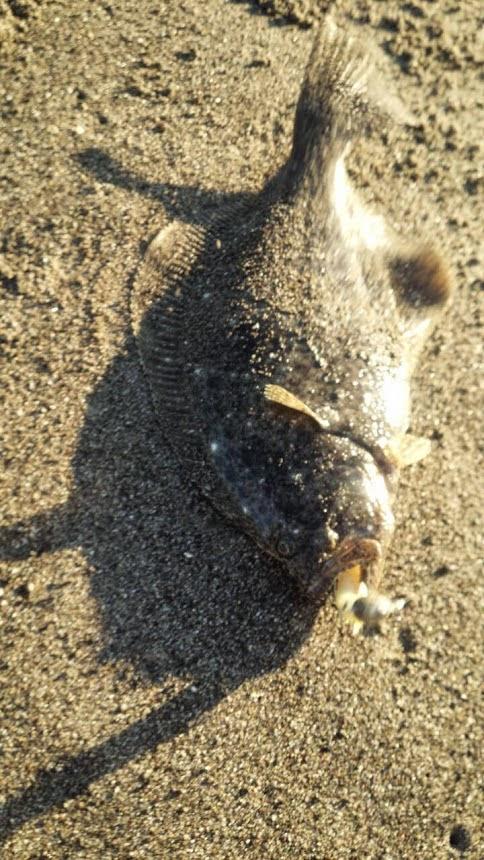 鴨川ヒラメ