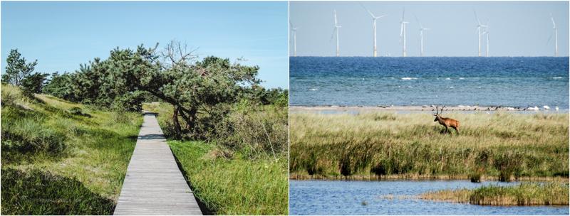 Wanderweg im Darßer Ort an der Ostsee, Hirsche