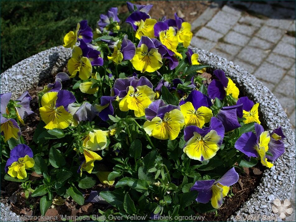 Viola Wittrockiana 'Mariposa Blue Over Yellow' - Fiołek ogrodowy, bratek