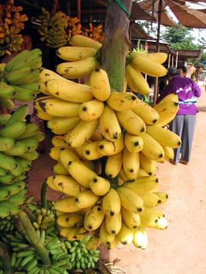 ผลการค้นหารูปภาพสำหรับ กล้วยเป็นเครือ