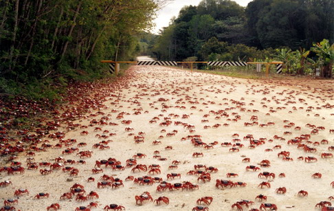crab, kepiting, cuyu, kepiting merah, sea food