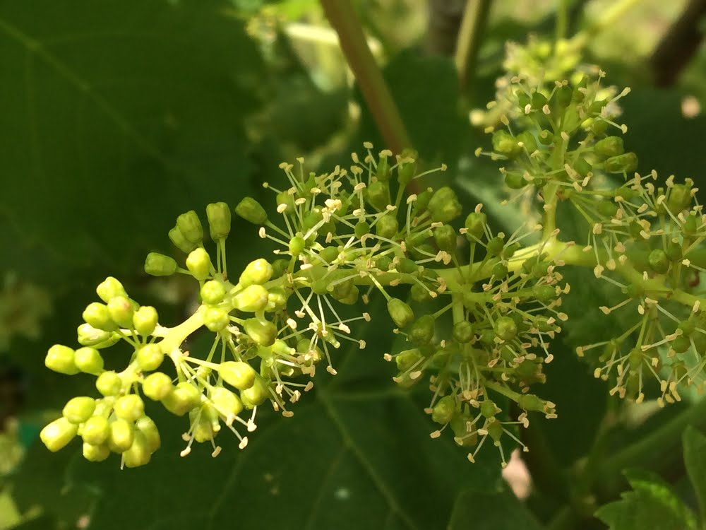 Flowering is starting in Napa Valley