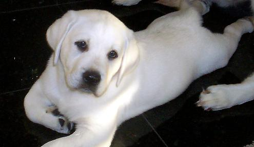 White  Puppies on Cute Animals Funny Animals Labrador Dogs Images White Labrador Puppies