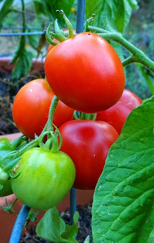 Ripening Container Tomatoes