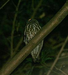 Foto Burung Hantu Pungok