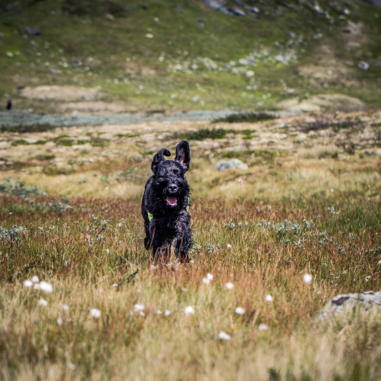 Karo på Hardangervidda, august 2013