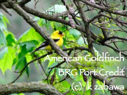 American Goldfinch East Garden