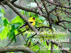 American Goldfinch East Garden